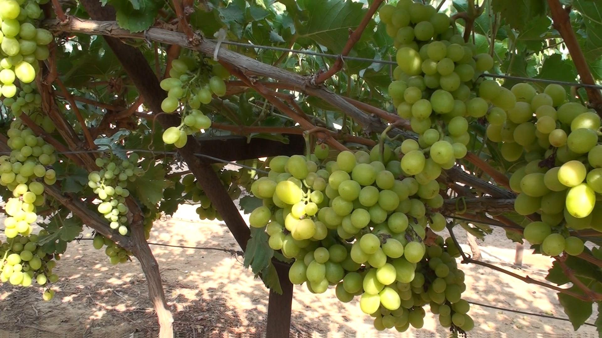 七作物系列之三:葡萄3-6